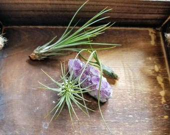 Amethyst Cluster with Tillandsia  || air plant