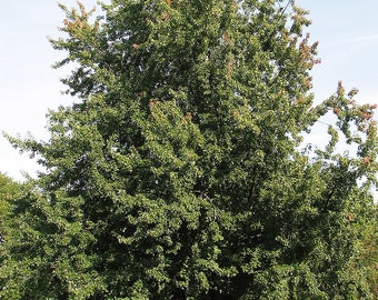 5 Silver Maple Trees(Acer Saccharinum) Bareroot