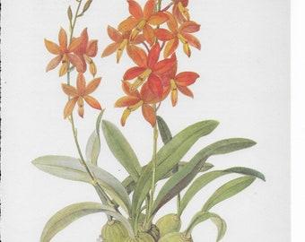 Botanical Print of an Epidendrim vItellinum Orchid