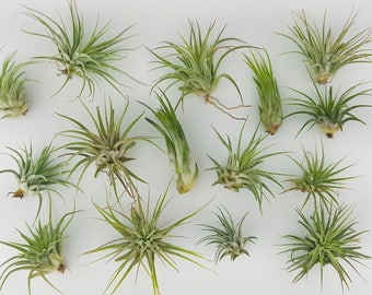 "15pc Air Plant Tillandsia ""TLC"" Ionantha Variety / Second Chance Quality / Wholesale Tillandsias with Minor Imperfections"