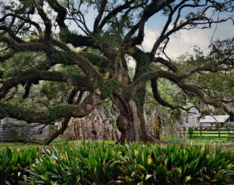 LOUISIANA LIVE OAK ~ Destrehan Plantation ~ Historic Live Oak Tree ~ Cajun Decor ~ Fine Art Photography ~