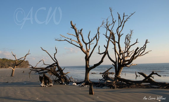 Bone Yard Beach on Hunting Island South Carolina 1 (PR) (canvas)