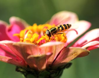 Nature Photography - Bee on the Look Out for Flower Flies - Multiple Sizes Available