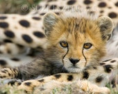 BABY CHEETAH PHOTO Print,...