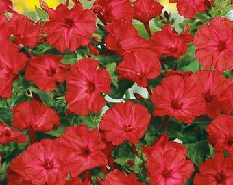 Four O'clock- Red- 50 Seeds