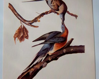 VINTAGE 9 X 12  AUDUBON -- Passenger Pigeon -- lithograph print VG condition American Bird
