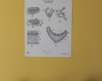Vintage Lichens wall chart from Turtox
