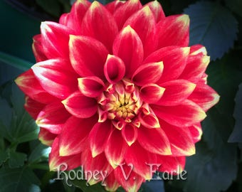 Red and Yellow Flower (Dahlia) Instant Digital Photo Download