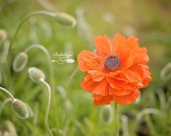 Digital Download Photograph {Pretty Poppy} Nature Flower Photo