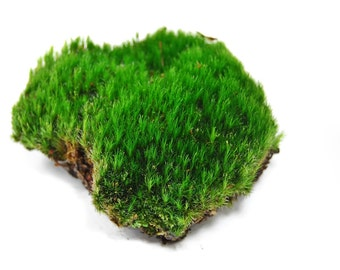 Live Moss For Terrariums, Gardens, Vivariums, Fairy garden and miniature garden, Wedding decor, For frogs and orchids, Live terrarium decor