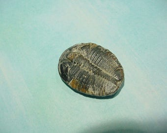 Fossil Elrathia Kingi Trilobite Cabochon from Utah, Lapidary Supply, Jewelry making 29 mm 13T118 Lrg#1