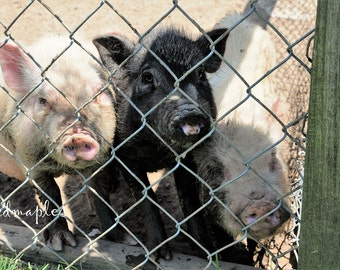 Sweet Piglets Photo, Farm Photo, Barnyard Pigs Photo, Farm Photography, Three Little Pigs Print