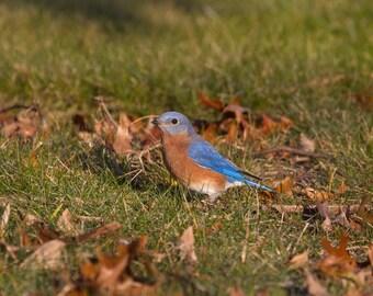 Bluebird Photograph, Nature Print, Bluebird of Happiness, Blue Wall Art, Bird Photography, Blue Nursery Art, Boys, Girls Bedroom, Cute Bird