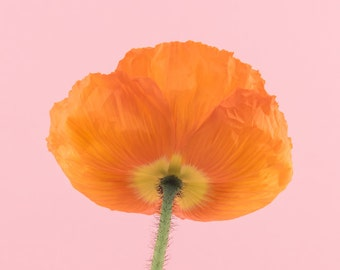 Orange poppy flower photography print, Wall Decor, Flower Wall Art, Floral, Home Decor, Fine Art Photography Print