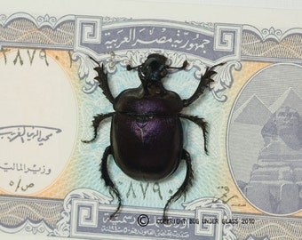 Purple Scarab Beetle with Real Egyptian Money Insect Display
