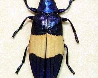 Real Metallic Blue Jewel Beetle Conservation Display 2298