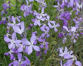 "Scented Stock Flowers ""Starlight Sensation"" night blooming Mattholia Incana flowers, 30+ seeds"