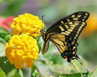 Nature Photography Swallowtail, Butterfly Photo, Yellow Flowers, Butterfly Gifts, Black Yellow Green Home Decor Wall Art Print