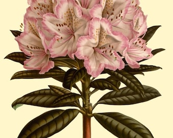antique french victorian botanical print pink rhododendron flowers illustration digital download