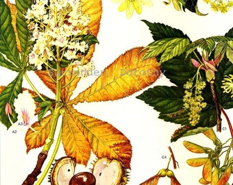 Flowering Tree Europe Horse Chestnut Norway Maple Botanical Exotica Vintage Illustration To Frame 19