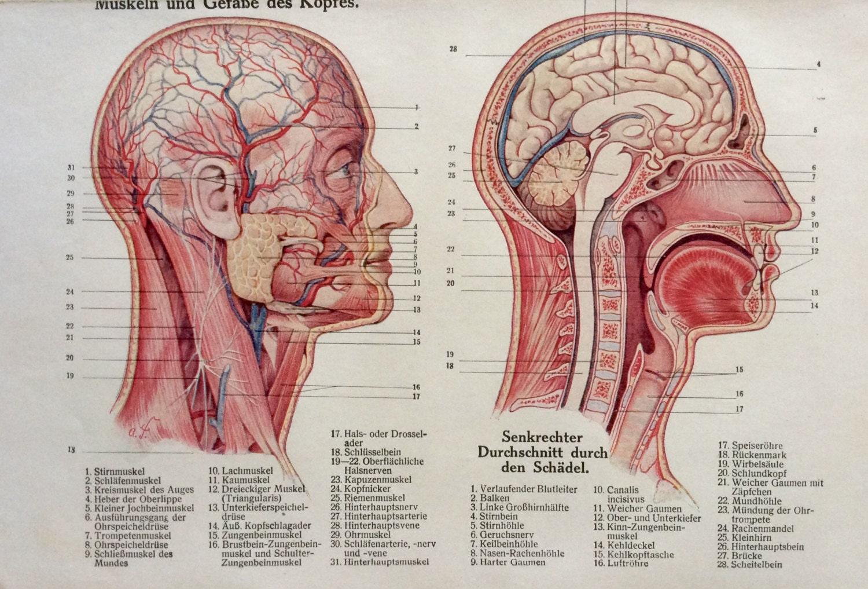 Jahrgang der 1920er Jahre deutsche Anatomie Gesicht Gehirn
