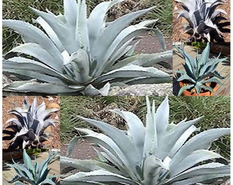 20 x AGAVE Scabra Plant Seeds - Blue Green To Gray Green Leaves - for Alpines and Rock Garden - aka ROUGH AGAVE