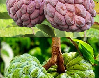 Heirloom Rare Purple/Common Green/Mix Sugar Apple Seeds (Custard Apple/Annona squamosa) Tropical Fruit, Fresh & Organic, Sweet, Juicy, Tasty