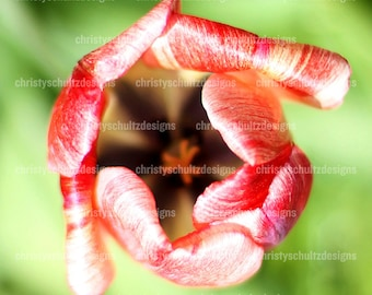 Tulip Flower Print - Fine Art Photography