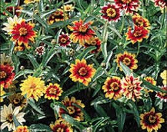 Zinnia- Persian Carpet Mix- Mexican- 100 Seeds