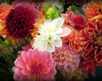 Dahlia - Dahlias - flowers - Dahlia Photo - Dahlias photo - Colorful Dahlias - white dahlia - flower photo - red dahlia - pink dahlia -