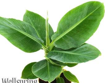 DWARF CAVENDISH Banana Plant Fruit Tree Musa Live Plant Edible tropical garden