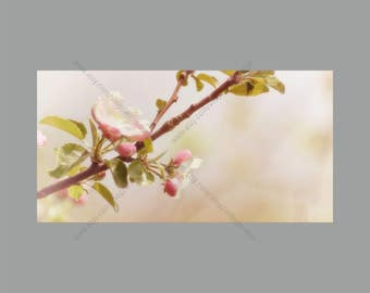 Digital Photo Download Spring Pink and White Crab Apple Tree Blossoms and Buds on Branch with Soft Creamy Blurred Background