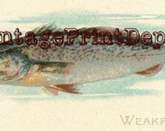 Weakfish, Weakfish Wall Art, Weakfish Digital Art, Weakfish Home Decor, Weakfish Art, American Fish, Fish Collection Art, Fish Collection