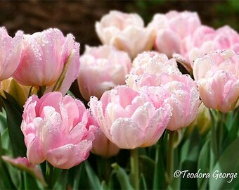 Soft Pink Tulips Photography, Still Life, Botanical, Spring Photo, Garden Photography, Flower Photo, Pink Flowers, Spring Flowers, Tulips