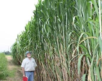 15 Worlds Tallest Grass seeds-1329