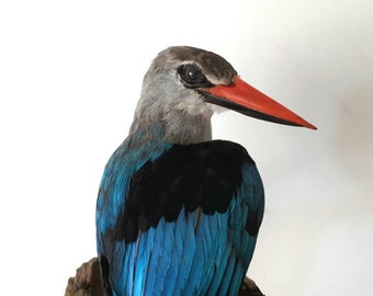 Real stuffed woodland kingfisher taxidermy curiosity bird feathers