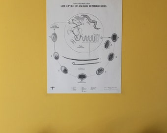 Vintage Ascaris Lumbricoides Life Cycle classroom chart from Turtox