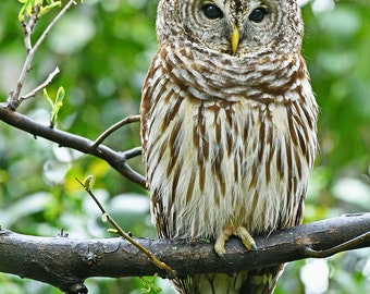 Barred Owl in rain, Charlotte, North Carolina: archival print signed and matted