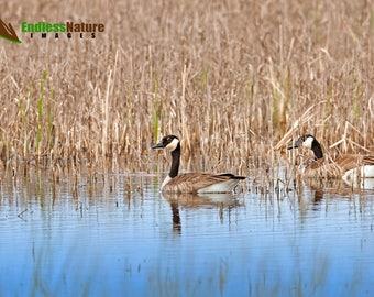 Canada Goose 2372 ( Branta Canadensis ) Waterfowl Images, Canadian Goose Prints, Wetland Bird Photographs, Bird Photography, Goose Pictures.