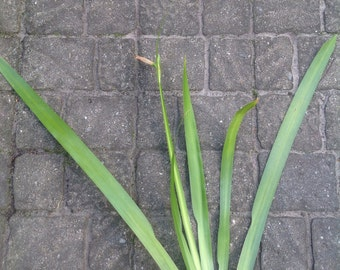 Walking Iris Live Plant, Live Twelve Apostles Plant, Neomarica Gracilis Organically Grown Plant, Mature Plant
