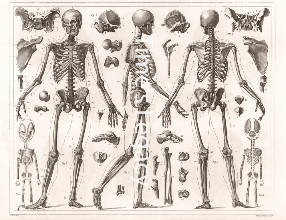Magnificent Victorian Anatomy Illustrations Crest - Anatomy And ...
