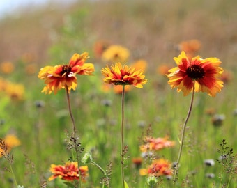wild flowers, field of flowers, botanical art print, nature photography, flower photography, orange flowers, floral home decor, 8x10
