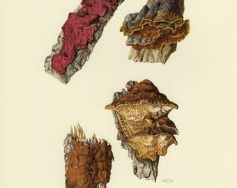 Vintage lithograph of alder bracket, wood-decay fungi, oak curtain crust from 1963