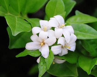 5 Orange Jasmine Seeds-1077