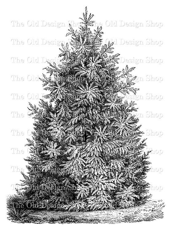 Pine Tree Clip Art Vintage Printable Botanical Illustration Digital Stamp Fabric Transfer From TheOldDesignShop On Etsy Studio
