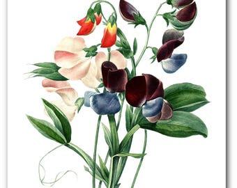 Sweet Pea Print, Botanical Flower Illustration, Garden Art, Floral Theme Decor, 8 x 10 inches, Unframed