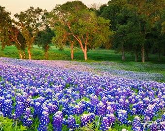 "Texas Wildflower Photography | ""Bluebonnet Field"" | Texas Wall Art Print | Wildflower Field Photo Print - Sunset Bluebonnet Field Print"