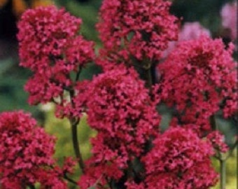 40+ Red Jupiter's Beard Centranthus / Perennial Flower Seeds