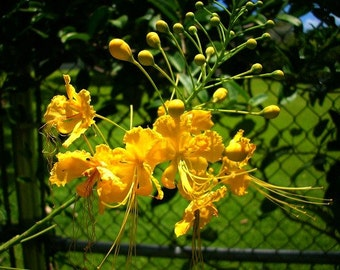 Caesalpinia mexicana, Mexican Bird of Paradise, 10 seeds, yellow blooms, feathery foliage, loves heat, drought tolerant, tree or shrub