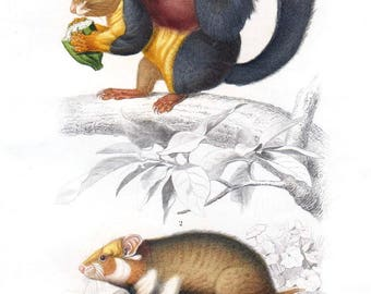 Original Antique Beautiful Rare,Hand Colored squirrel print,Wall art,art decor,decorative art,hotel art,